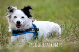 All For Dogs szelki norweskie Niebieski L
